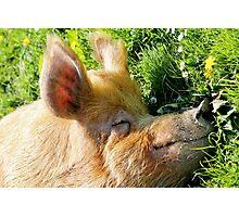 Piggy Paradise Photographic Print