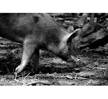 Piggy on a Mission Photographic Print