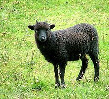 The Black Sheep of the Family..........? by Roy  Massicks