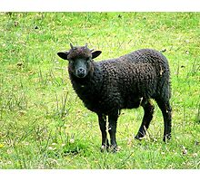 The Black Sheep of the Family..........? Photographic Print