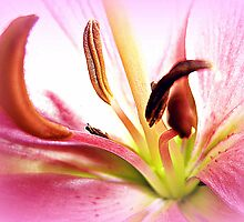 Pink Lily  in Macro by EdsMum