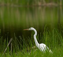 The Great Egret 1 by Thomas Young