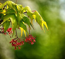 Japanese Maple Flower by Pete5