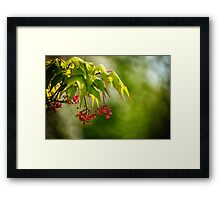 Japanese Maple Flower Framed Print