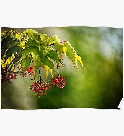 Japanese Maple Flower Poster