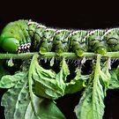 Katy Katerpillar, side view by heatherfriedman