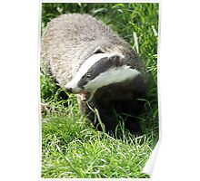 badger yawn Poster