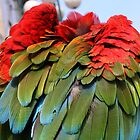 Red and green winged Macaw in the City by brijo
