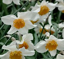 Daffodils by LydiaBlonde