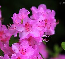 Rainy day Azalea.. by FotoBloke