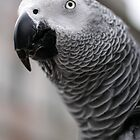African Grey Parrot by brijo
