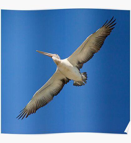 a flying australian pelican Poster
