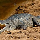 Fresh Water Crocodile by Mark Ingram Photography