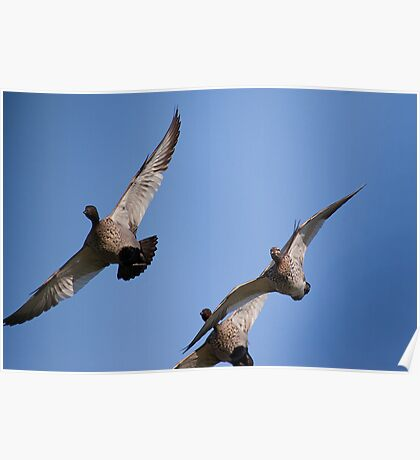 flying australian wood duck Poster