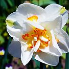 1481-white narcissus by elvira1