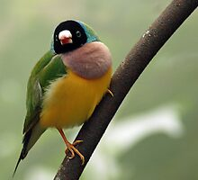 Green And Yellow Bird by DMBell