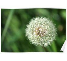 Dandelion Seed Head Poster