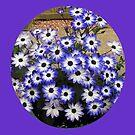 Sweet Cinerarias - Floral Vignette by kathrynsgallery