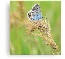 Polyommatus icarus (Çokgözlü Mavi) Canvas Print