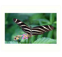 Zebra Longwing butterfly 2 Art Print