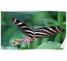 Zebra Longwing butterfly 2 Poster