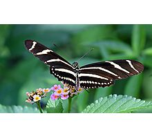 Zebra Longwing butterfly 2 Photographic Print