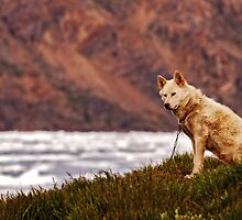 sledge dog overlooking the icebergs by Klaus Brandstaetter