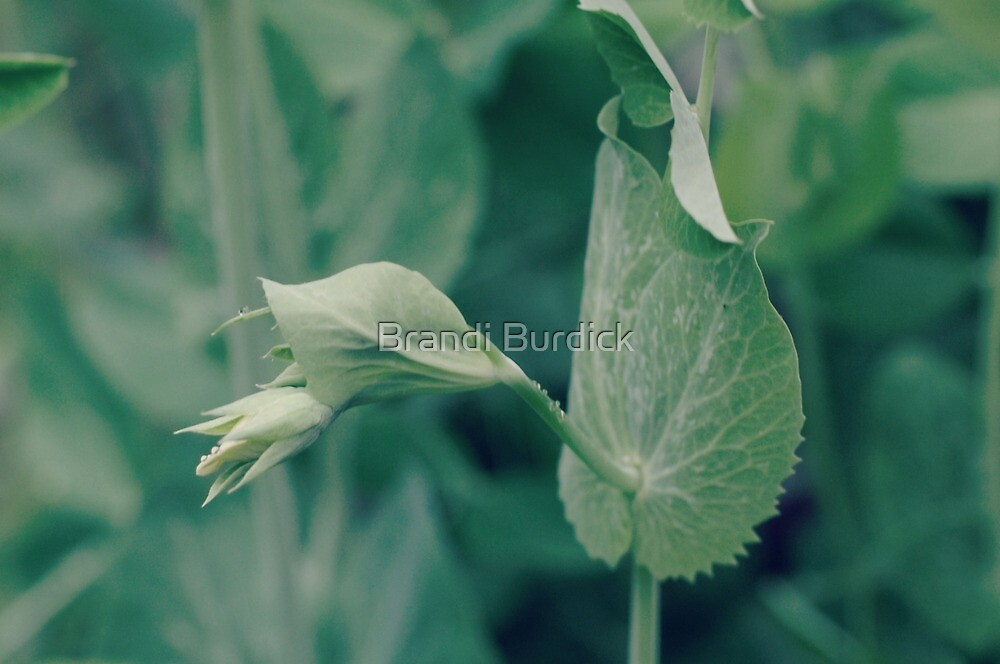 the sweetest of peas...4~ by Brandi Burdick