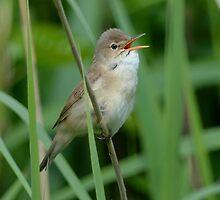 Reed warbler - Singing by Peter Wiggerman