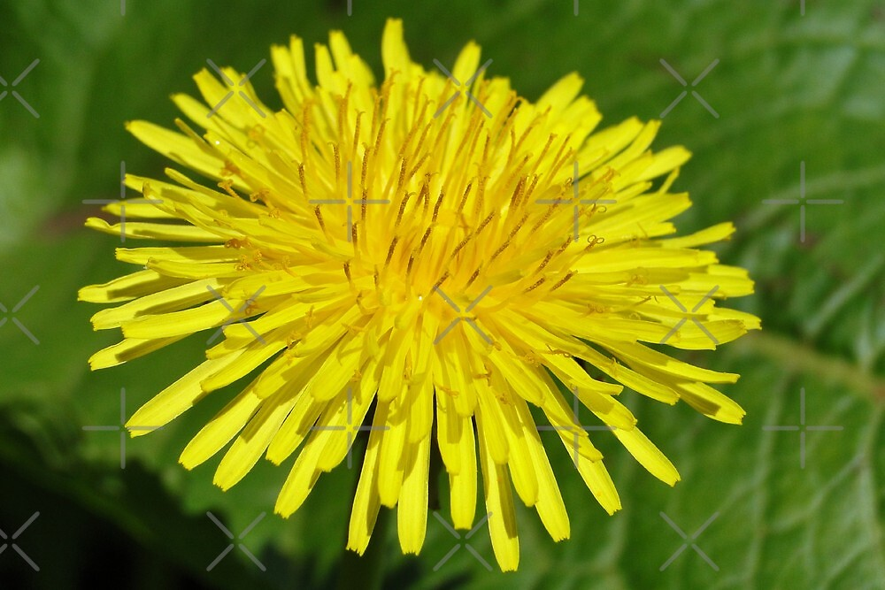 The Dandelion Macro by Barrie Woodward