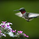 Ruby-throated Hummingbird  by smalletphotos