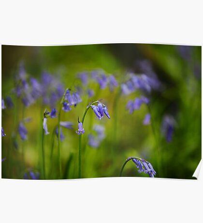 Vibrant Bluebells  Poster