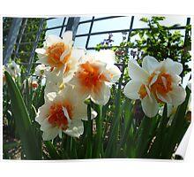 Marmalade Daffodils Poster