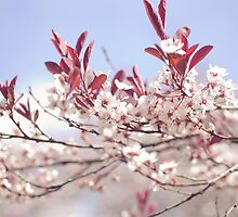 Cherry Blossom  by slacey