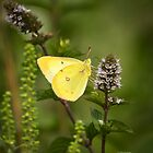 Pink-edged Sulphur 2013-1 by Thomas Young