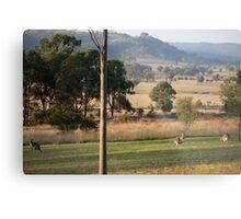 Kangaroos with their Joey -Vacy, NSW Australia Metal Print