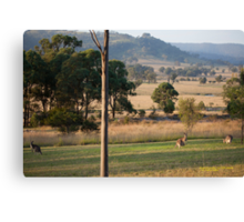 Kangaroos with their Joey -Vacy, NSW Australia Canvas Print
