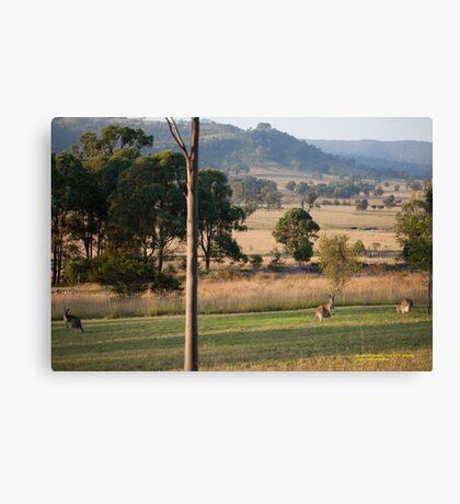Kangaroos with their Joey -Vacy, NSW Australia Canvas Print