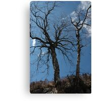Birch Trees waiting for Spring Canvas Print