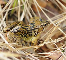 Common Frog by cuilcreations