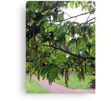 White Birch Tree Catkins Canvas Print