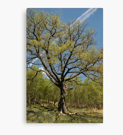 Oak with Bluebells Canvas Print
