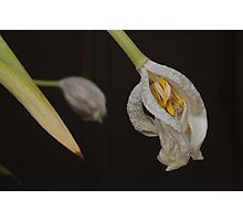 White Tulips Photographic Print