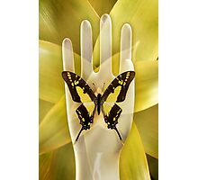 Butterfly_Thyiades_thyastes Photographic Print
