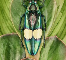 Beetle_Chrysochroa_saundersi by Paul Eekhoff