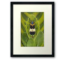 Beetle_Chrysochroa_corbetti Framed Print
