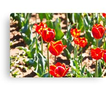 Oil Painting - Red tulips with yellow tips Canvas Print