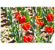 Oil Painting - Red tulips with yellow tips Poster