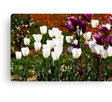 Oil Painting - White and purple tulips inside the Tulip Garden Canvas Print