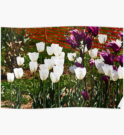 Oil Painting - White and purple tulips inside the Tulip Garden Poster